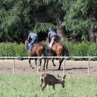 Monty Roberts Racehorse Training at Flag Is Up Farms, Solvang, California - photo by June Tabor Memories